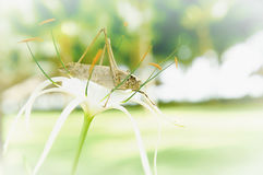 在花的蚂蚱,背景 库存图片