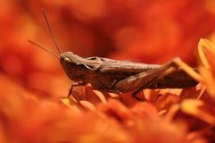 在花的蚂蚱 图库摄影