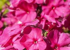 在花的蚂蚱 库存图片