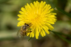 在花的蜂在庭院里 免版税库存照片
