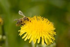 在花的蜂在庭院里 免版税库存图片
