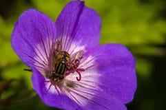 在花的蜂在绿色背景 免版税库存图片