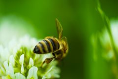 在花的蜂收集花蜜的 库存图片