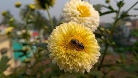 在花的蜂蜜蜂 免版税图库摄影