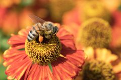 在花的蜂蜜蜂 免版税库存图片