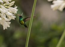 在花的蜂鸟 库存照片