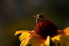 在花的蜂,在晚上 库存照片