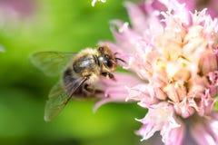 在花的蜂 小有用的昆虫是工作和做蜂蜜 与翼的蜜蜂在开花 在乡下的春天我 免版税库存图片