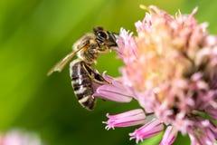 在花的蜂 小有用的昆虫是工作和做蜂蜜 与翼的蜜蜂在开花 在乡下的春天我 图库摄影