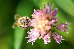在花的蜂 小有用的昆虫是工作和做蜂蜜 与翼的蜜蜂在开花 在乡下的春天我 免版税库存照片
