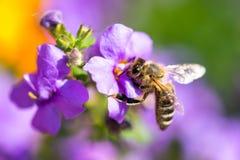 在花的蜂 小有用的昆虫是工作和做蜂蜜 与翼的蜜蜂在开花 在乡下的春天我 库存图片