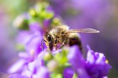在花的蜂 小有用的昆虫是工作和做蜂蜜 与翼的蜜蜂在开花 在乡下的春天我 免版税图库摄影