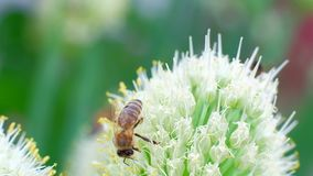在花的蜂 蜂从花收集花蜜