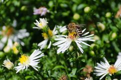 在花的蜂 蜂蜜 免版税库存照片
