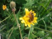在花的蜂 免版税库存照片