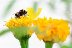 在花的蜂 库存照片