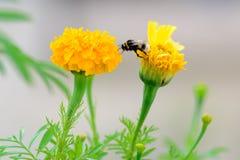 在花的蜂 库存图片