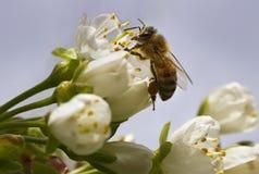 在花的蜂 免版税库存图片