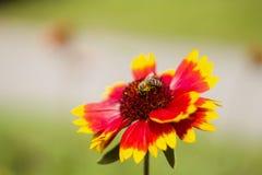 在花的蜂 图库摄影