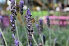 在花的蜜蜂 免版税图库摄影