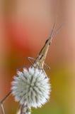 在花的蝗虫 免版税库存图片