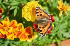 在花的蝴蝶在庭院里 免版税库存图片