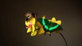 在花的蝴蝶 股票视频