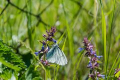 在花的蝴蝶 蝴蝶坐紫罗兰色花 蝴蝶从野花收集花粉 图库摄影