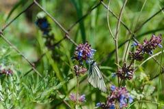 在花的蝴蝶 蝴蝶坐紫罗兰色花 蝴蝶从野花收集花粉 免版税图库摄影