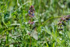 在花的蝴蝶 蝴蝶坐紫罗兰色花 蝴蝶从野花收集花粉 免版税库存图片