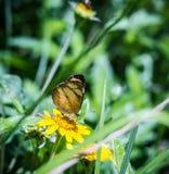 在花的蝴蝶 蝴蝶飞行 免版税库存图片