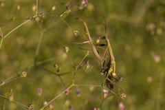 在花的螳螂 库存照片