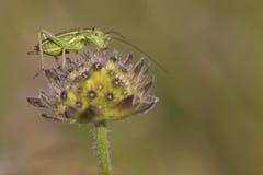 在花的蟋蟀 库存照片