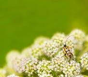在花的被察觉的长角牛甲虫 图库摄影