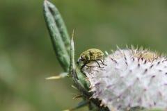 在花的象鼻虫 免版税库存照片