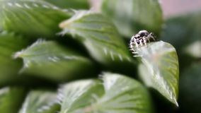 在花的跳跃的蜘蛛 免版税库存照片
