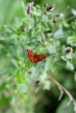 在花的野生浪漫蝴蝶 免版税库存照片