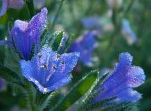 在花的露水 免版税库存照片