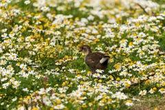在花的领域的共同的雌红松鸡Gallinula chloropus 库存照片