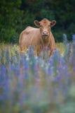 在花的领域的布朗母牛 图库摄影