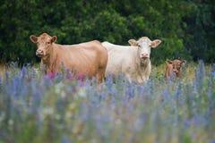 在花的领域的母牛家庭 免版税库存图片