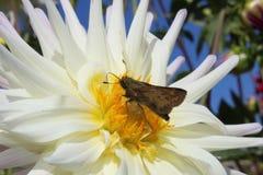 在花的飞蛾 免版税库存照片