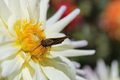 在花的飞蛾 库存照片