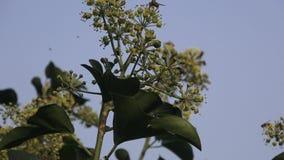 在花的飞行昆虫 股票视频