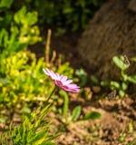 在花的飞行蝴蝶 免版税库存图片