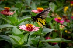 在花的黄色和黑蝴蝶 免版税库存照片