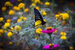 在花的黄色和黑蝴蝶 库存图片