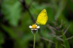 在花的黄色草蝴蝶在它的自然生态环境 图库摄影