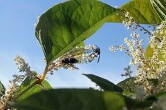 在花的黄蜂 库存图片