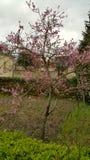 在花的年轻桃树在庭院里 免版税图库摄影